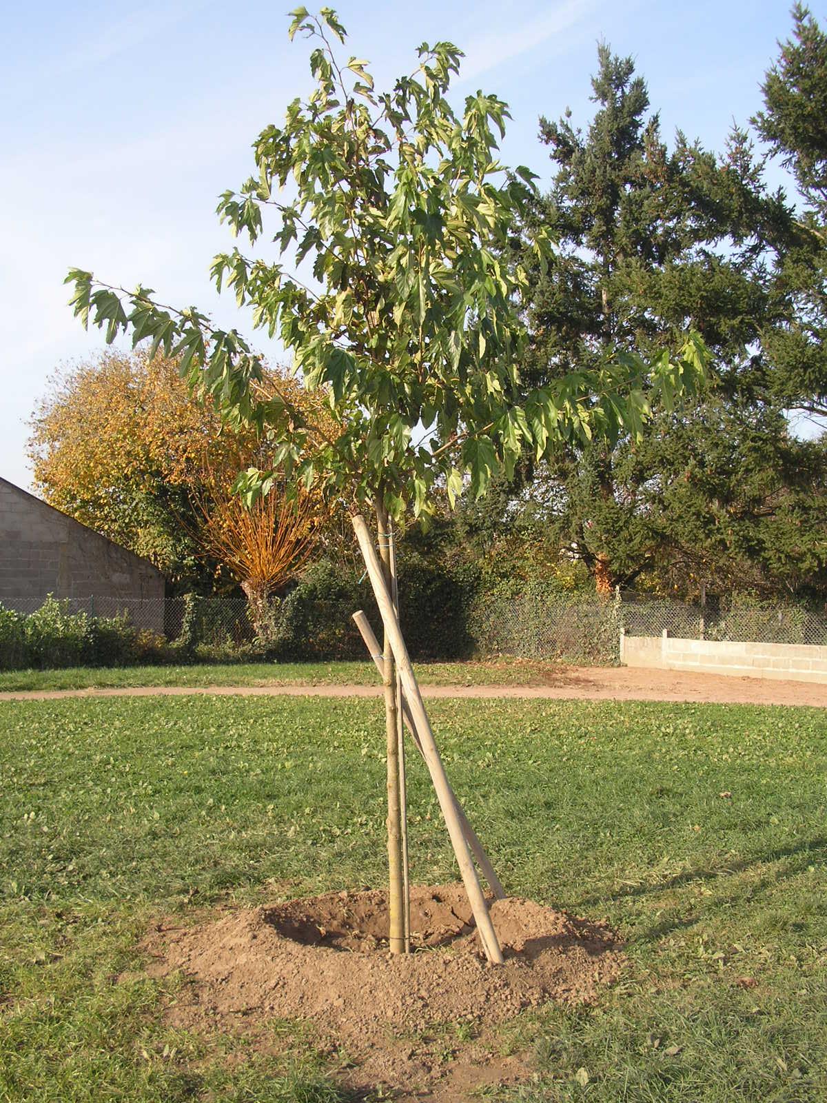 Ecole publique de saint genouph plantation d 39 un arbre - Plantation d un fruitier ...